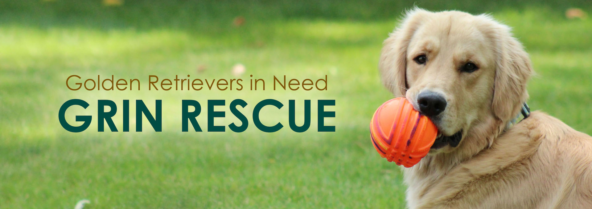 Available Goldens - Golden Retrievers in Need Rescue Service, Inc